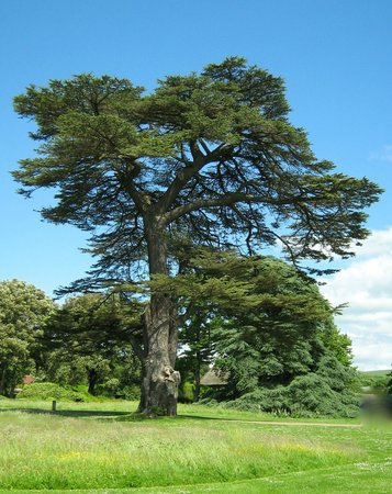 West Dean Gardens: A magnificent tree