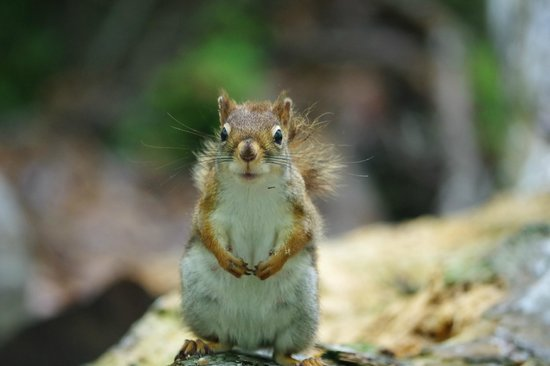 Beech Forest : Red Squirrel