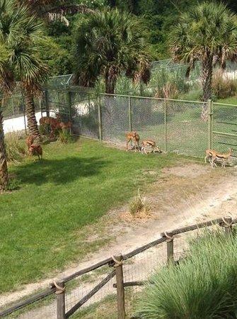 Disney's Animal Kingdom Villas - Kidani Village: right out the window