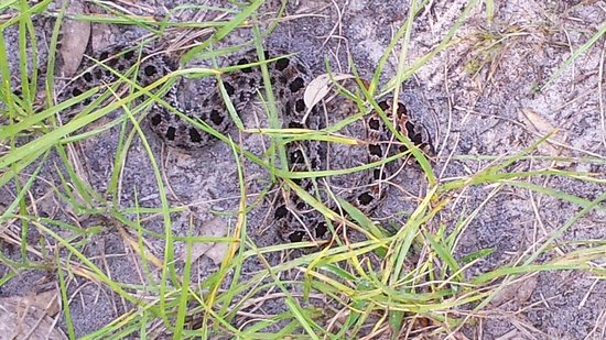 Myakka River State Park: rare glimpse of snake along the hiking trail