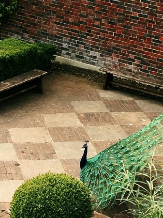 Leeds Castle Stable Courtyard Bed & Breakfast: Resident Peacock