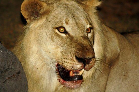 Linyanti Bush Camp: Lion enjoying an elephant for dinner