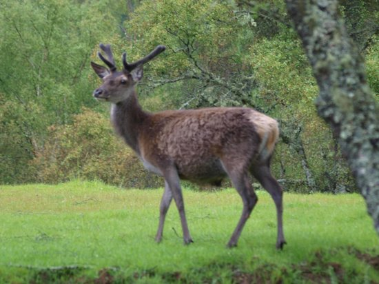 Eagle Brae: Deer come down from higher ground to feed