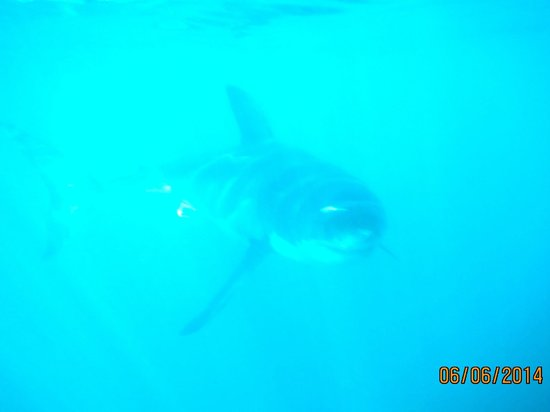 Marine Dynamics: Pic of Great White swimming past us in the cage.  The Real Deal.