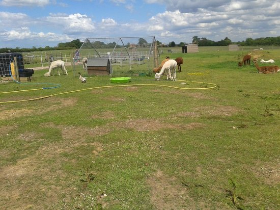 Alpacas picture of abbotts view alpacasabbotts view farm for Alpacas view farm cuisine