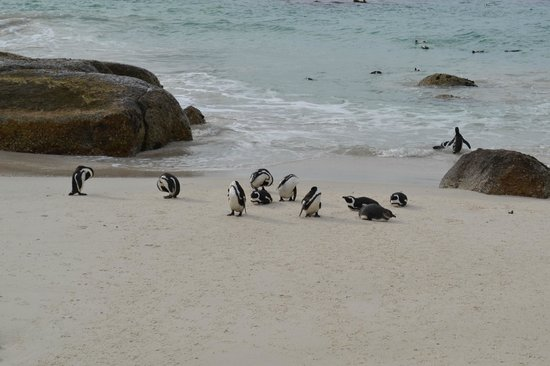 Boulders Beach: Penguin Colony May 2014
