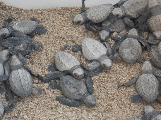 Crown Paradise Club Puerto Vallarta: SEA TURTLES HATCHED ON BEACH