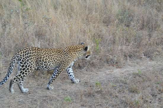 Idube Game Reserve Lodge: Up close and personal with a leopard...  Idube 2014