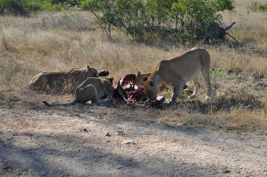 Idube Game Reserve Lodge: Lions on a kill - Idube 2014
