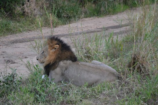 Idube Game Reserve Lodge: Male Lion - Idube 2014