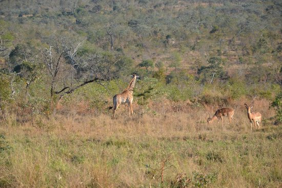Idube Game Reserve Lodge: Giraffe - Idube 2014