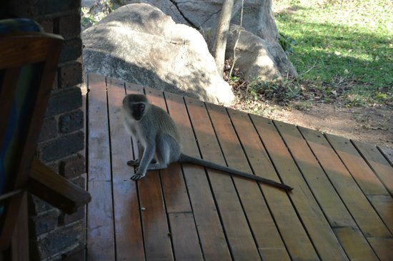 Idube Private Game Reserve Lodge: Monkey on the porch of the cabin - Idube 2014