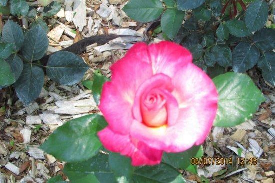 Whetstone Park / Park of Roses: beautiful rose