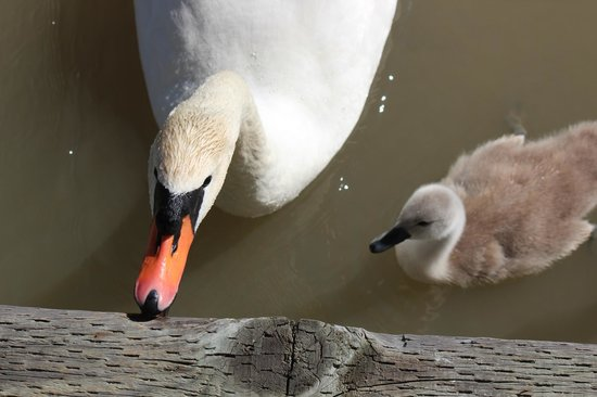 Canoe Pass Inn: Swans at point-blank range!