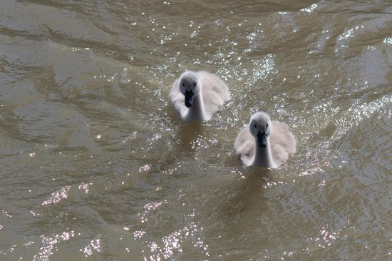 Canoe Pass Inn : Baby Swans