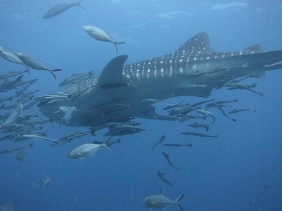 Discovery Dive Centre: Whale shark