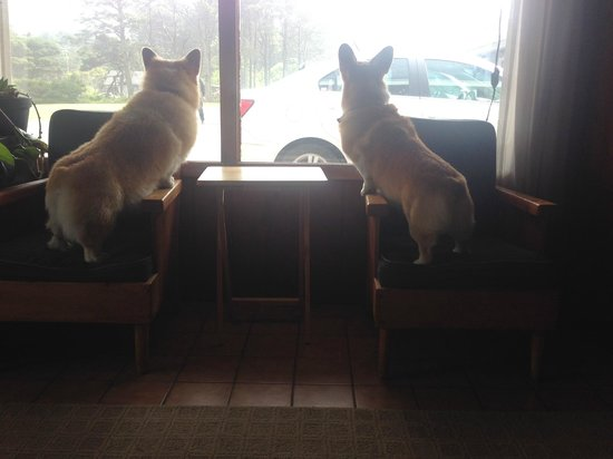 Deane's Oceanfront Lodge : The two sweetest corgis