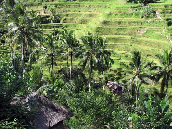 Tegalalang Rice Terrace