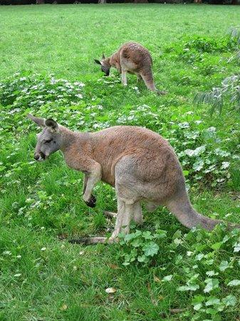 Escapegoat Adventures: Kangaroos at Cleland