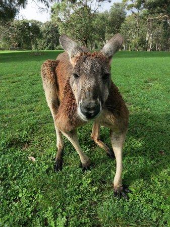 Escapegoat Bike - Day Tours : Kangaroos at Cleland