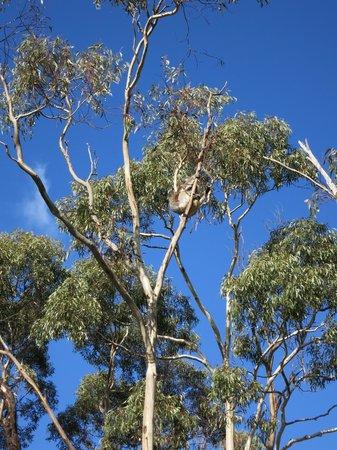 Escapegoat Bike - Day Tours : Koala spotted!