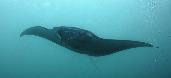 Two Fish Divers Lembongan: Black Manta