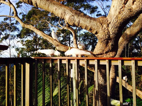 Tamborine Mountain Bed & Breakfast: Birds at breakfast