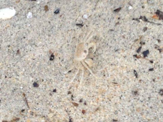 Century Langkawi Beach Resort : crabs