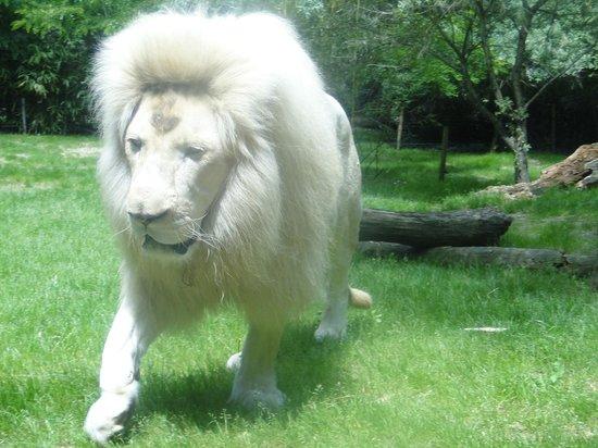 Zoo de La Flèche : lion blanc