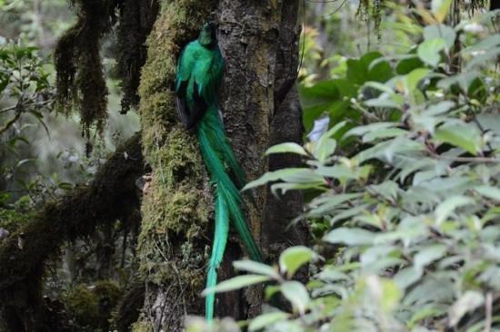 Dantica Cloud Forest Lodge: quetzal near Dantica