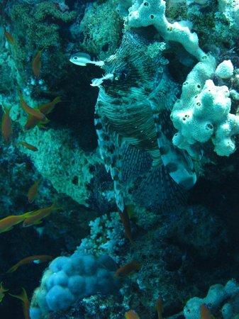 Ocean College Dive Centre : Tiger fish hiding