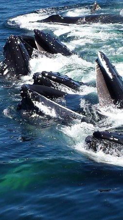 Dolphin Fleet Whale Watch: Humpback whale feeding frenzy