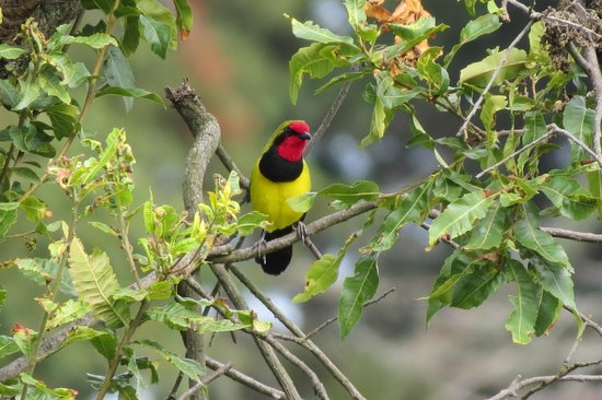 Broadbill Forest Camp : Song star of the Lodge