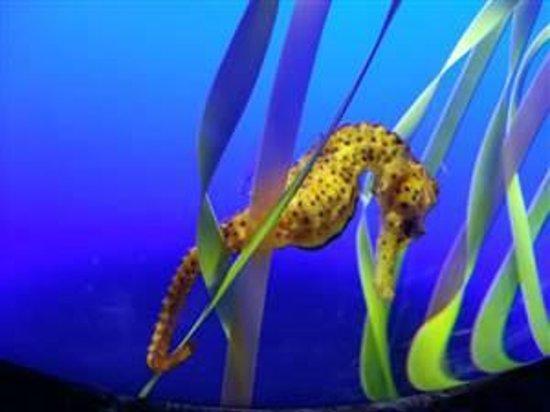 Ripley's Aquarium Of Canada: Seahorse at Ripley's Aquarium