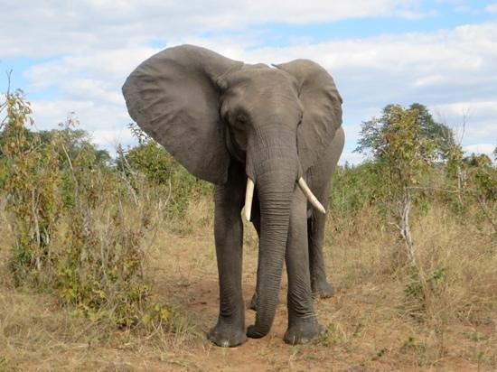 Chisomo Safari Camp: this beautiful elephant walked up to us, Sunday was the tracker