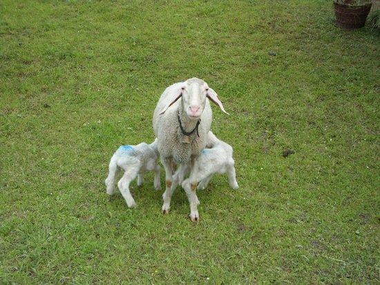 Seewald Gasthof: Schafe in der Nachbarschaft