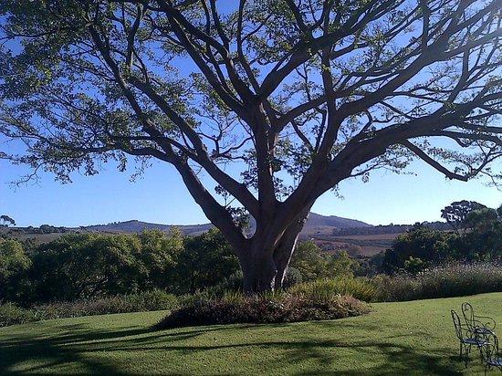 Devon Valley Hotel : Beautiful tree in front of Vineyard rooms