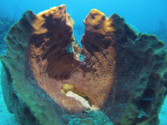 Diving Dominican Republic: Cleaner shrimp