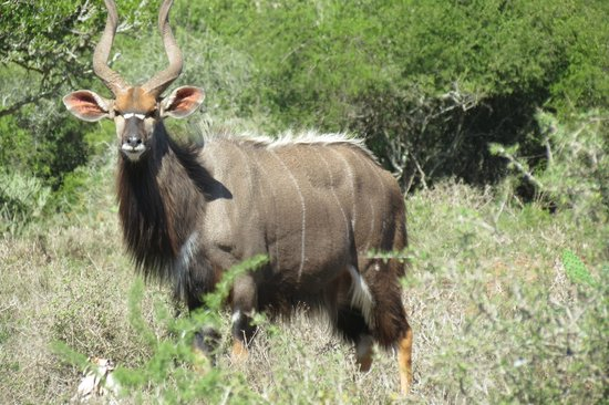 Kudu Ridge Game Ranch: Nyala Bull on the reserve