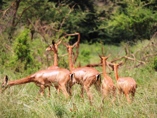 Meru National Park: Gerenuk Family