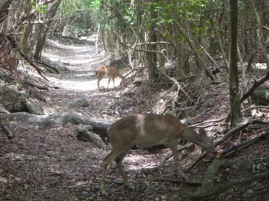 Coconut Coast Villas: Deer