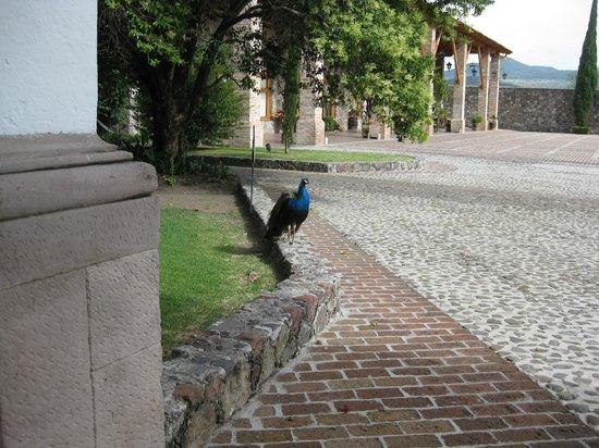 Hacienda Cantalagua: Tienen 4 pavo reales libres en las áreas