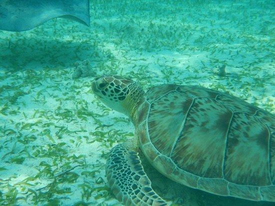 E-Z Boy Tours - Private Tour : Green sea turtle we saw on the hol chan trip