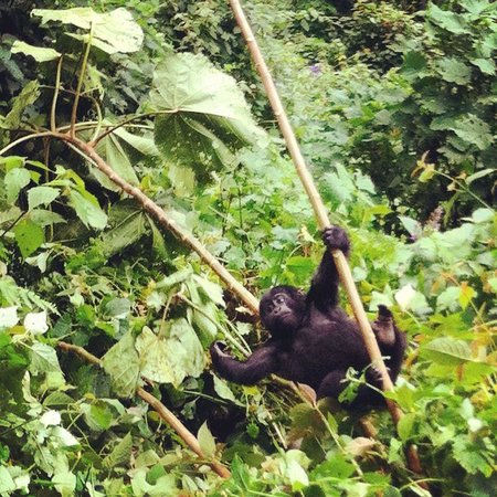 Chameleon Hill Lodge Bwindi : gorilla trek
