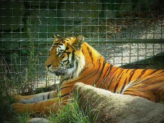 Dublin Zoo: tiger