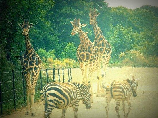 Dublin Zoo: giraffe