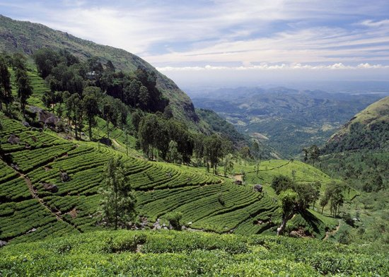Ceylon Tea Trails: Just a short hike away from Tientsin!