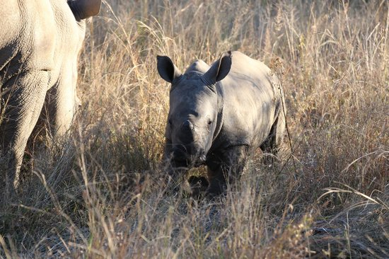 Ekuthuleni Lodge: Rhino baby 1 month old