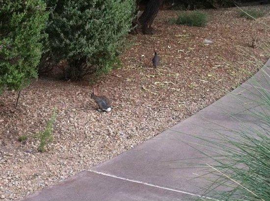 JW Marriott Phoenix Desert Ridge Resort & Spa: Rabbits and quail