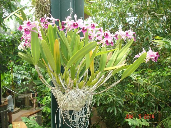 The Huntington Library, Art Collections and Botanical Gardens: A beautiful orchid in the conservatory